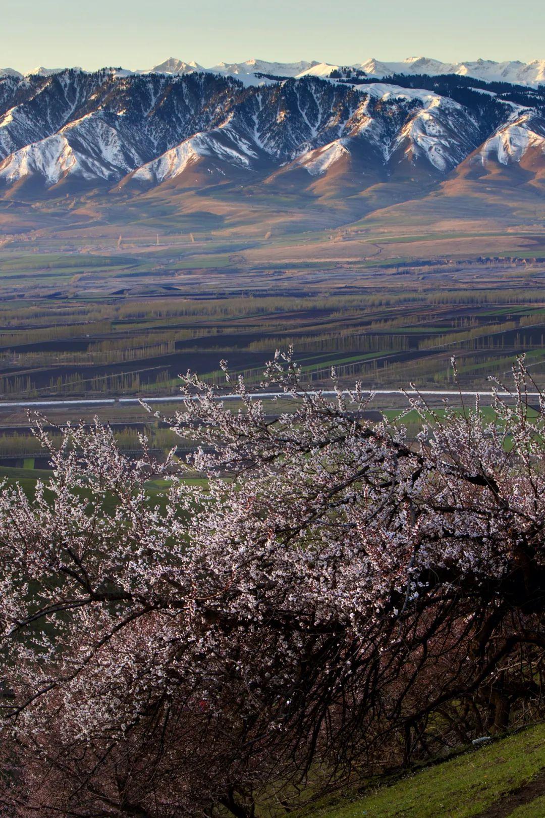 ▲ 天山下的桃林。 图/视觉中国