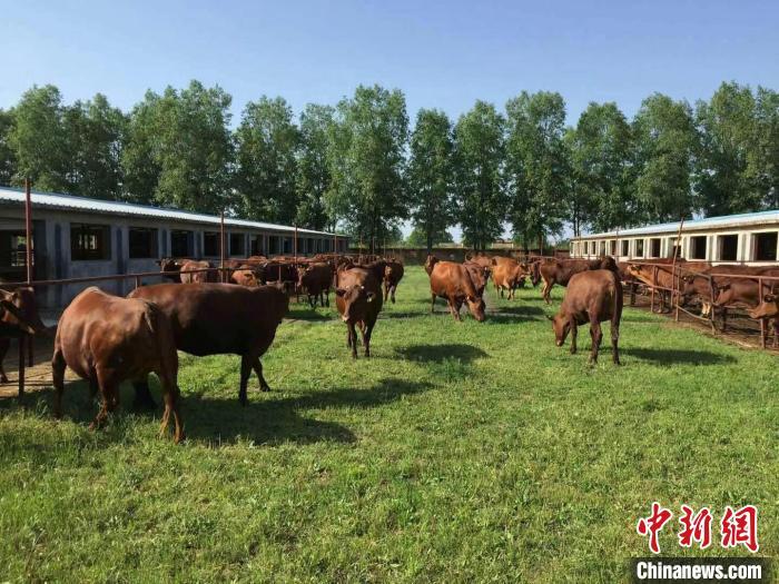 图为泾川县旭康红牛养殖基地。(资料图) 魏建军 摄