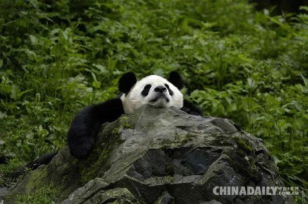 一只大熊猫趴在石头上休憩。图源中国日报网