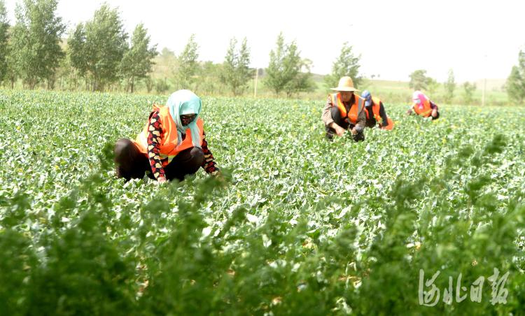 2021年6月30日,河北省康保县闫油坊乡中药材连片种植基地员工在管理种植的中药材。 通讯员刘雅轩摄影报道
