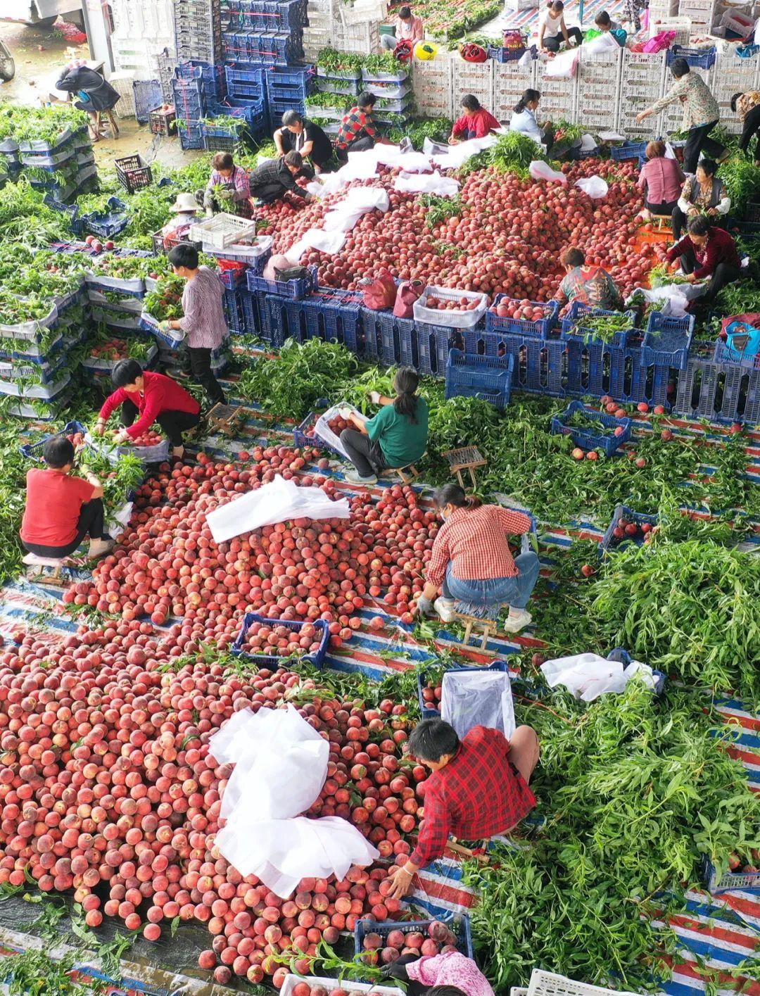 ▲ 盛夏,山东枣庄正在分装蜜桃。 图/视觉中国
