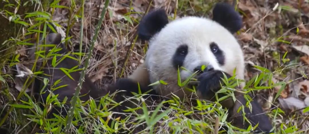 《走进大熊猫国家公园》纪录片画面。图源新华视频