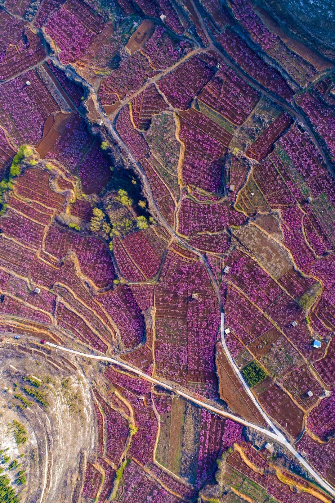 ▲ 山东肥城桃林。 图/视觉中国
