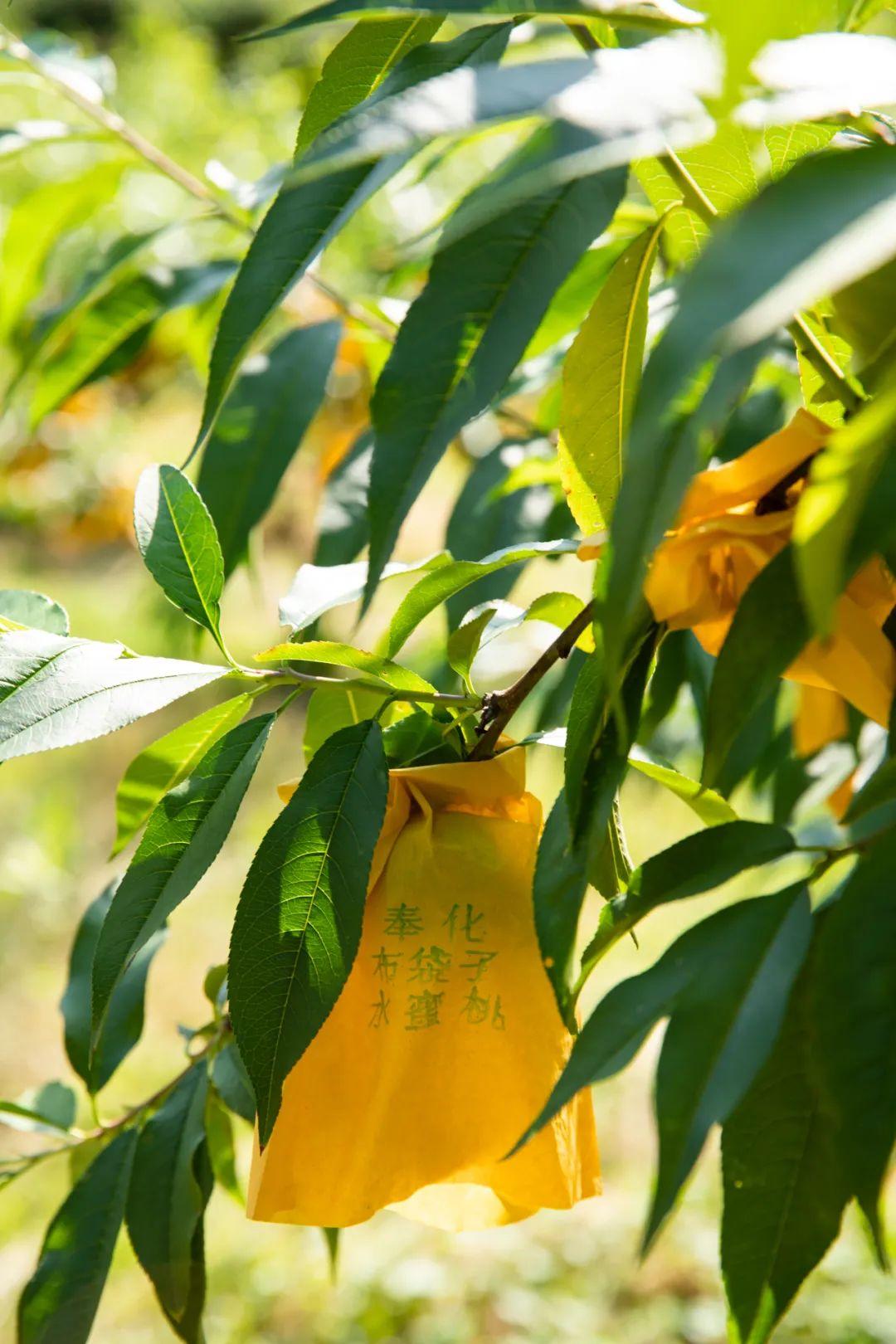 ▲ 奉化,每一枚未成熟的蜜桃,都需要套袋呵护。 摄影/朱梦菲