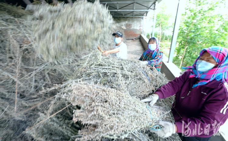 2021年6月29日,位于河北省康保县的河北祯艾生物科技有限公司员工在加工艾草。河北日报记者杜柏桦摄影报道