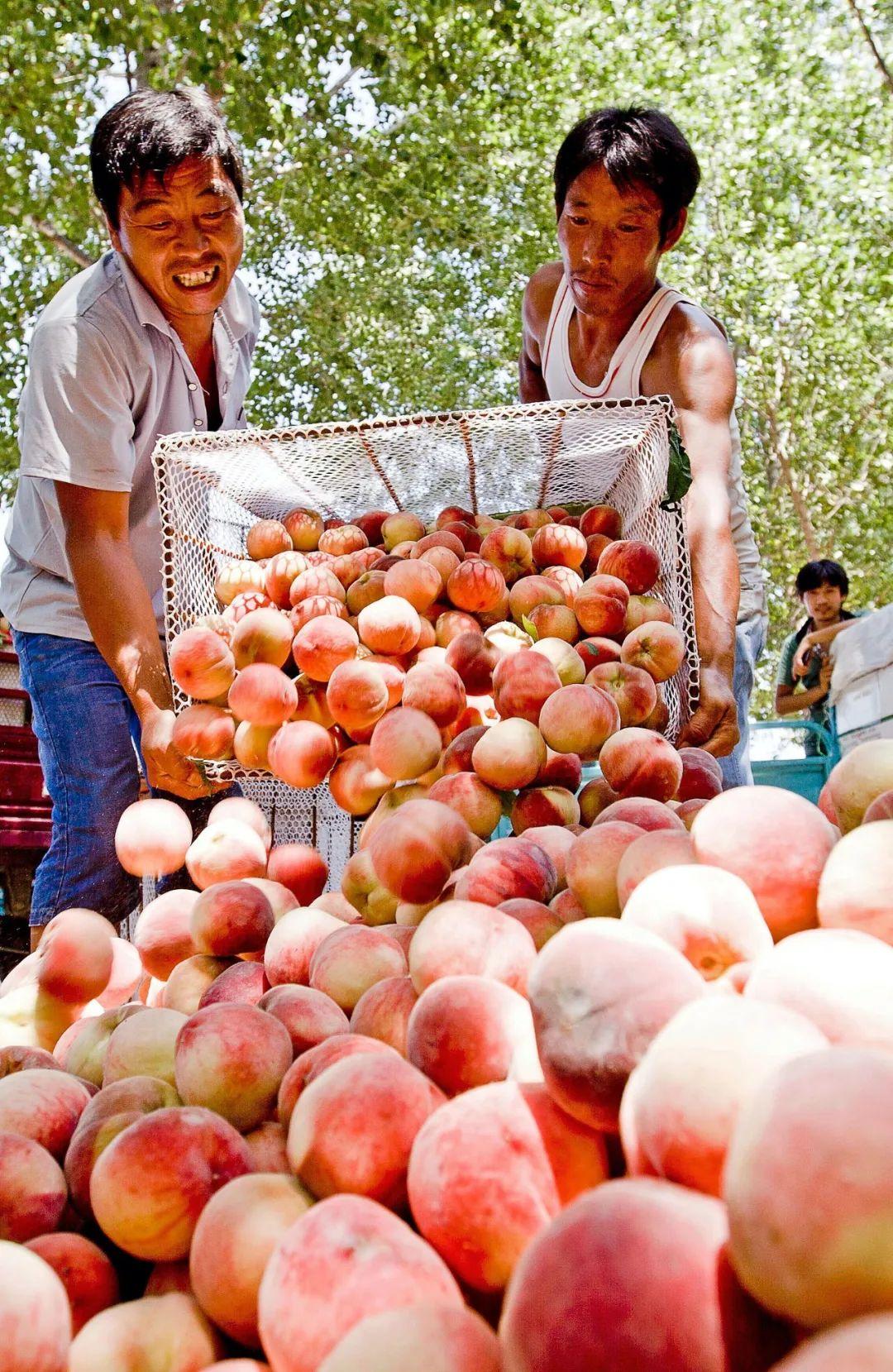 ▲ 北方蜜桃,我国祝寿时用的寿桃,大抵是以北方桃为原型的。 图/视觉中国