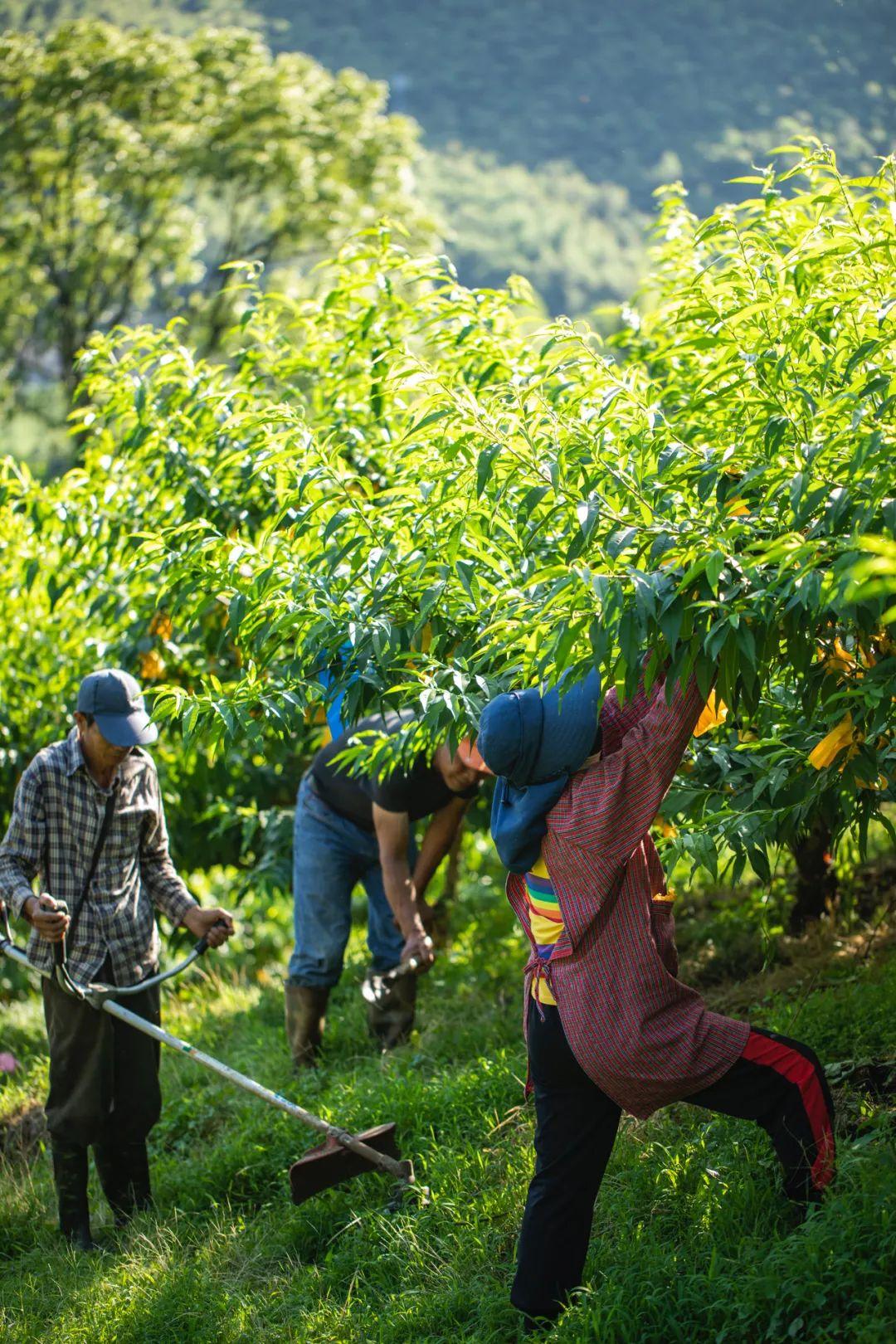 ▲ 桃山上,奉化人正在果园中劳作。 摄影/朱梦菲