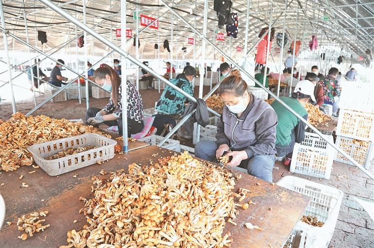 滑子菇生产基地大棚。