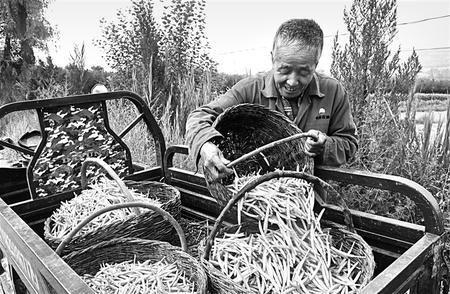 盛夏时节,庆城县卅铺镇黄花菜基地的农民正在采摘黄花菜。今年庆城县种植2万多亩黄花菜,长势喜人、增收在望。 新甘肃·甘肃日报通讯员 李世栋