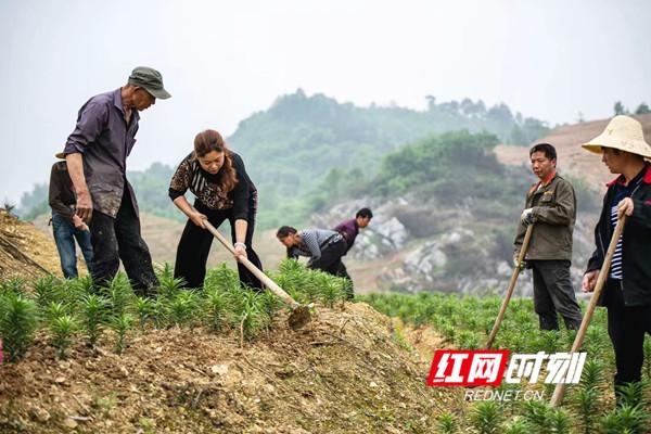 黄燕飞(左二)带领村民种植百合。