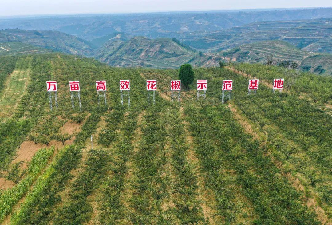 ▲ 陕西也有着历史悠久的花椒种植传统。图/视觉中国
