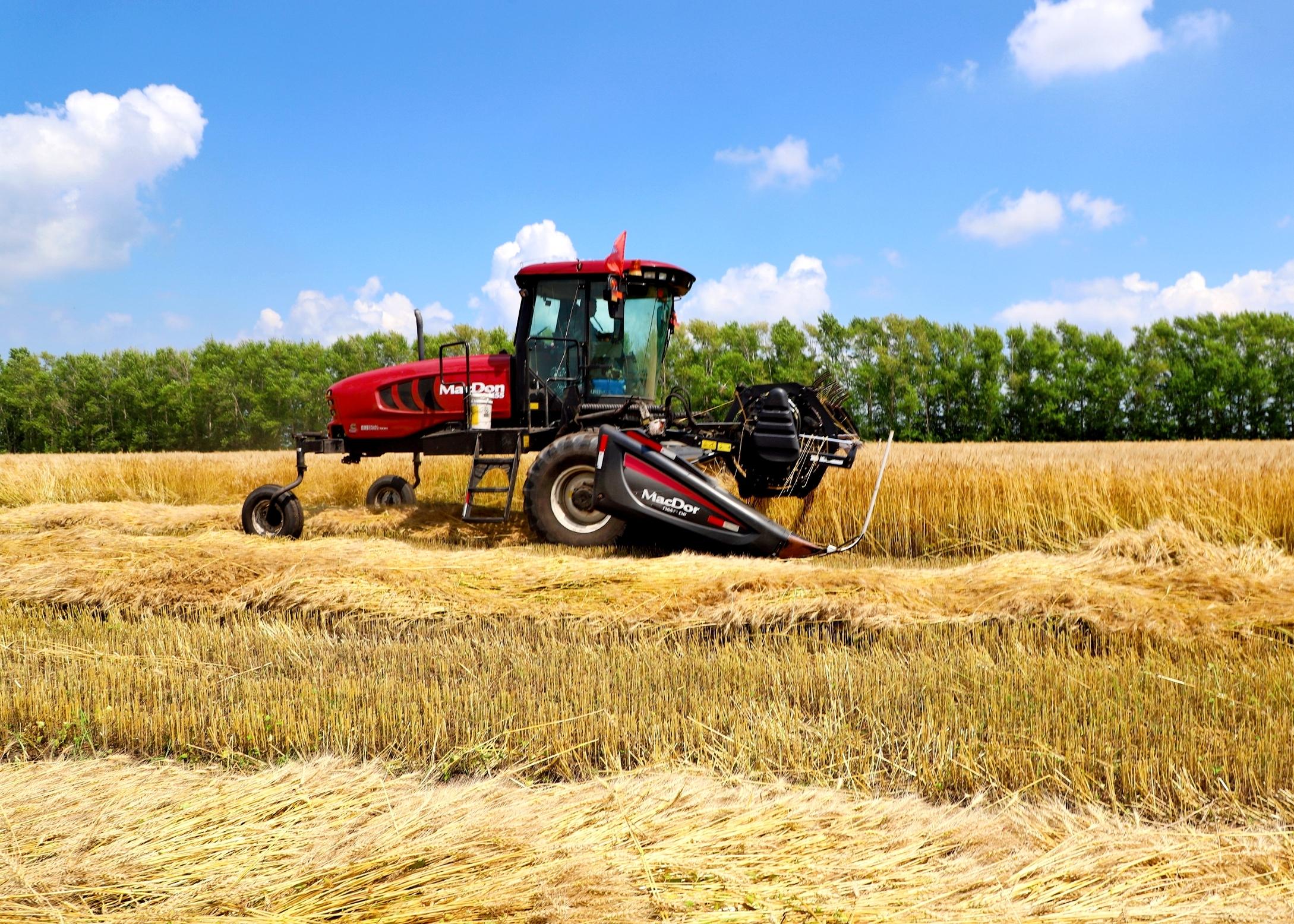红星农场有机小麦收获现场