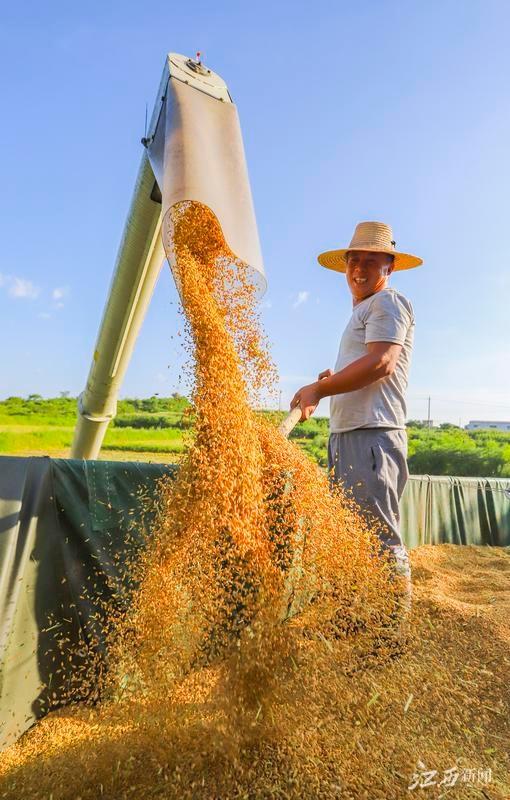 湖口:早稻收割忙(图)
