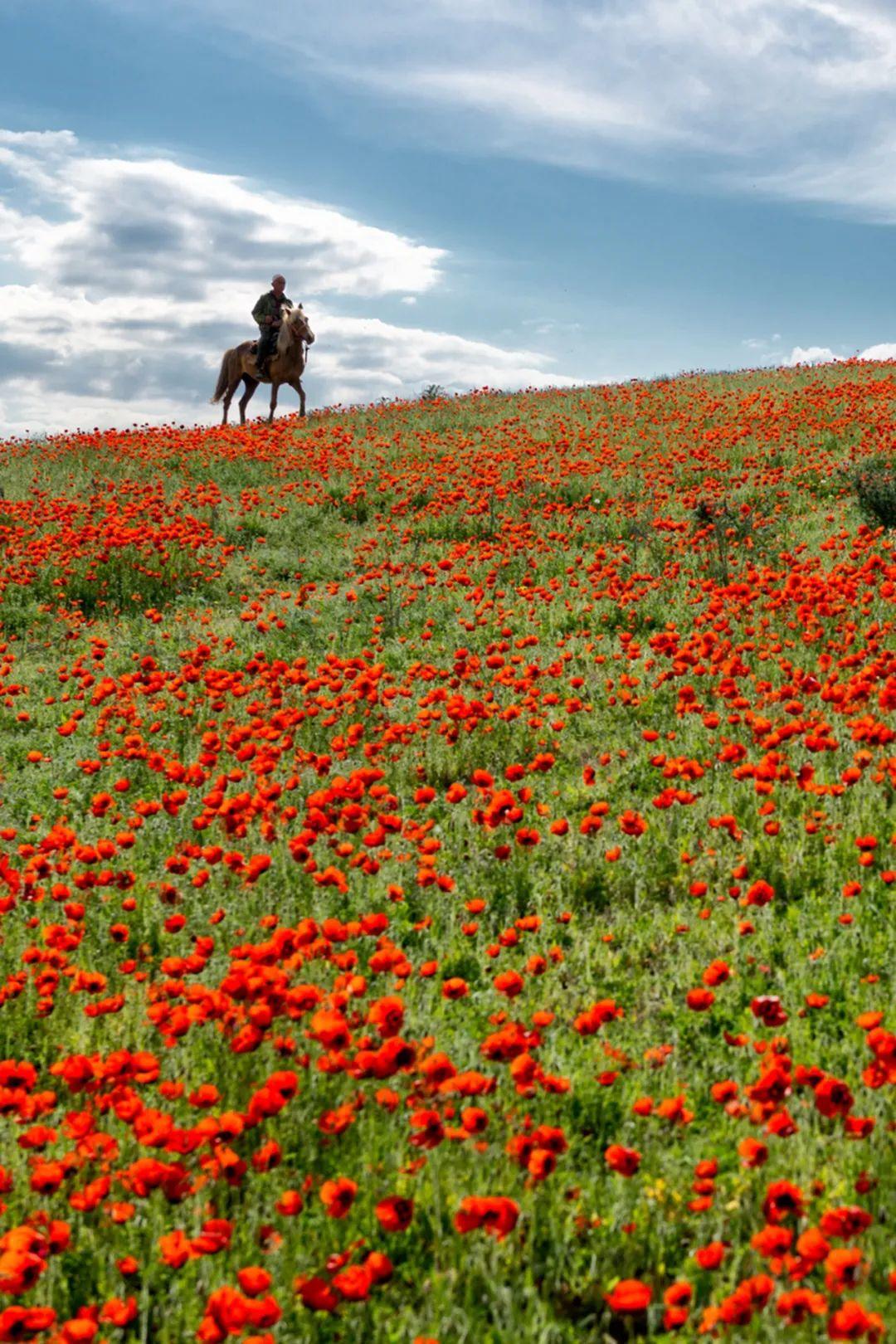 ▲ 伊犁的天山红花,分外妖娆。摄影/赖宇宁