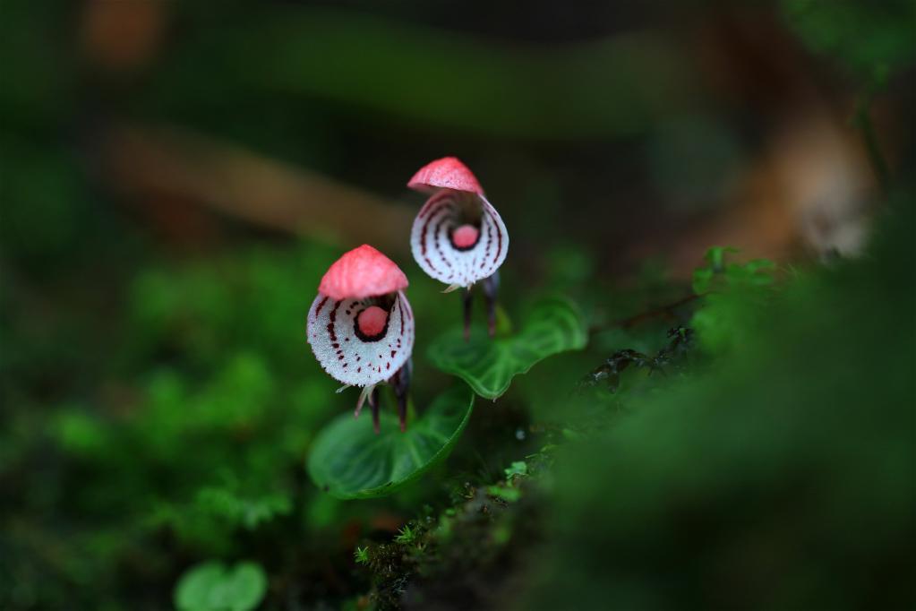 这是在云南龙陵小黑山省级自然保护区发现的大理铠兰。(2021年7月25日 郁云江摄)