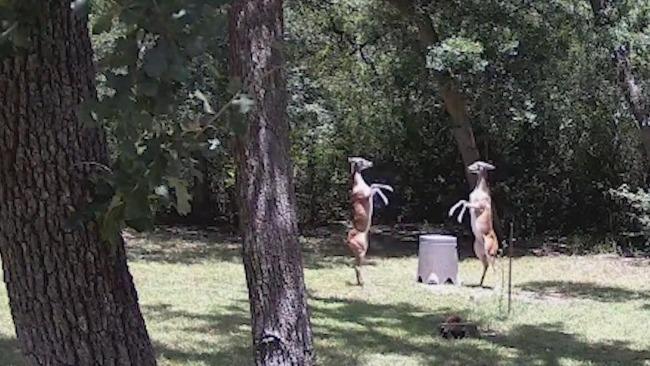 美国两只雌性小鹿为食物而战 挥舞前腿却打不着对方