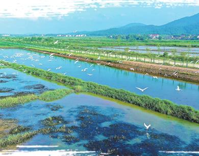 吉水县万亩稻渔基地鹭鸟飞 生态美