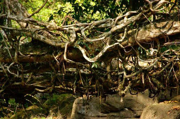 组成活树根桥的树根缠绕在一起。 图源:atlasobscura