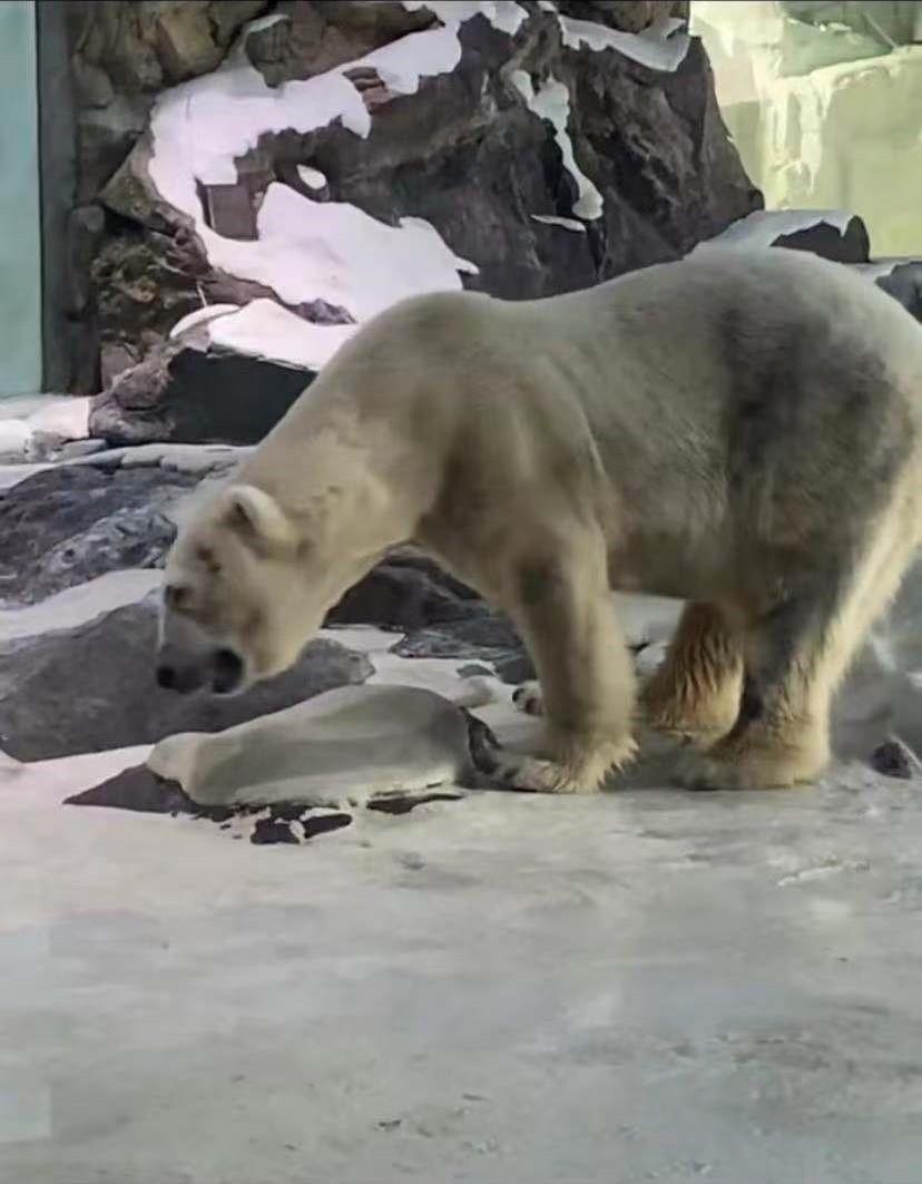 视频内,一只北极熊重复摇头的动作。