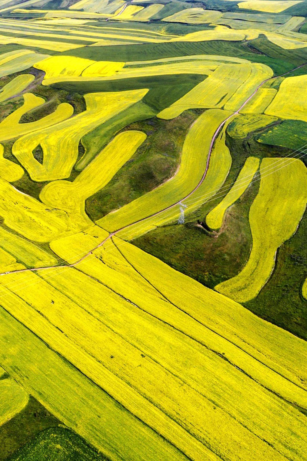 ▲ 伊犁的油菜花海,是人类织就的金色地毯。摄影/赖宇宁