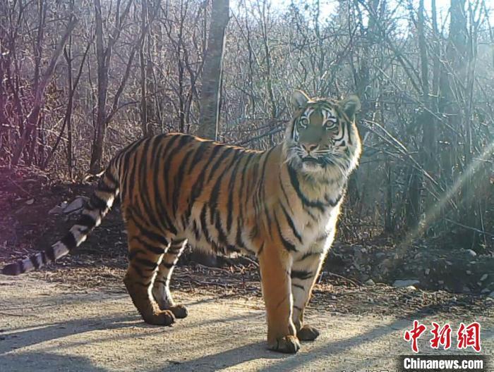 东北虎豹国家公园试点以来新增23只以上虎豹幼崽