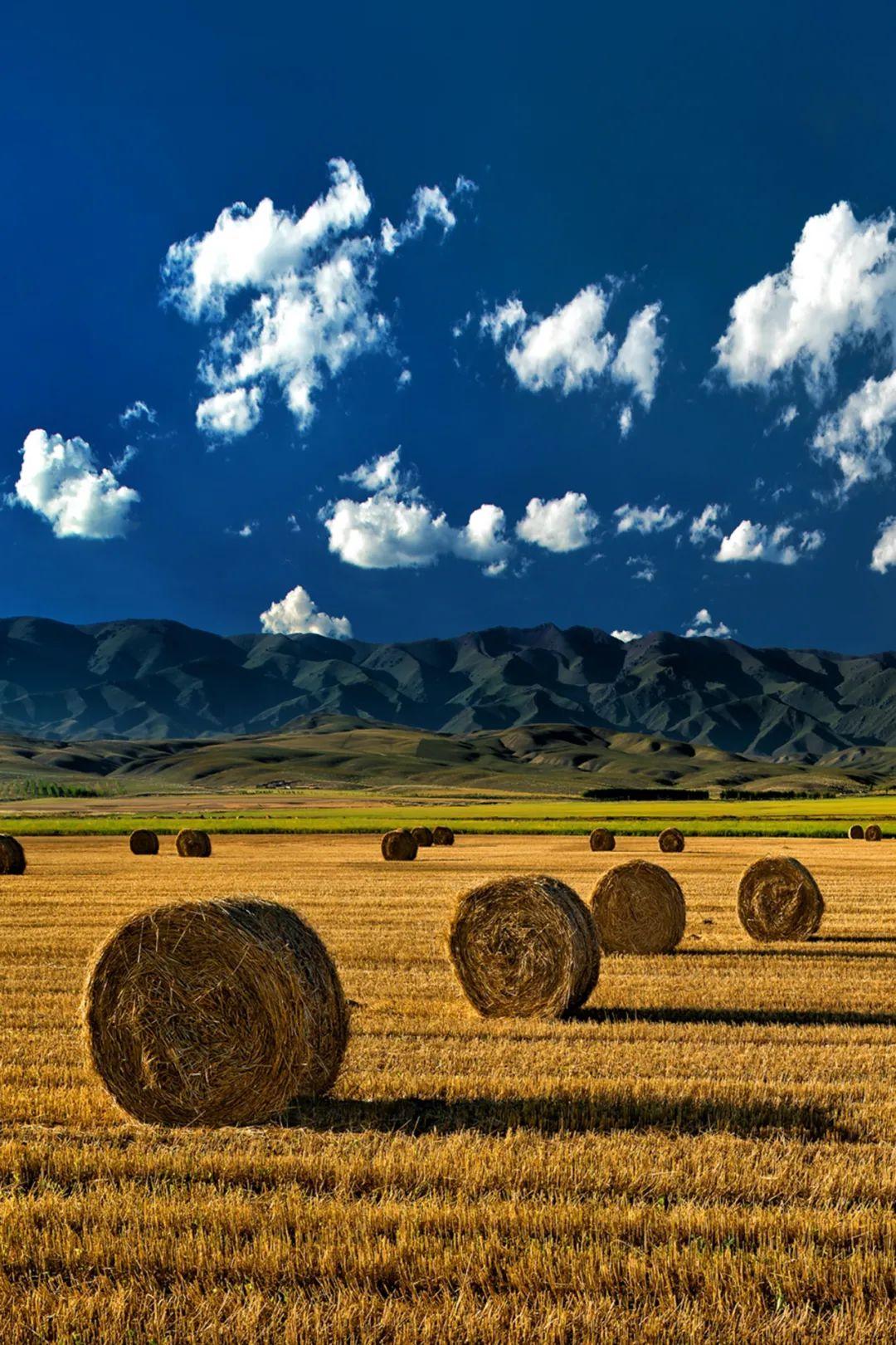 ▲ 丰收时节,金黄的麦田延伸向远方。摄影/赖宇宁