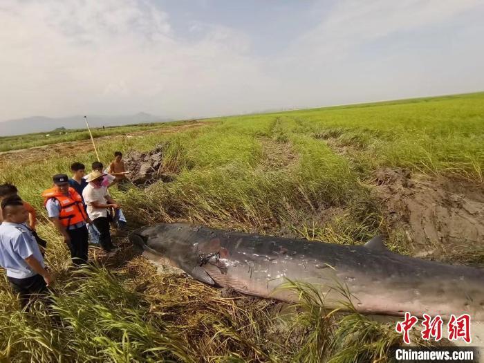一头须鲸在浙江瑞安滩涂搁浅后续:救援12小时后死亡