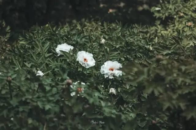 △ 洛阳牡丹。供图/茱妮