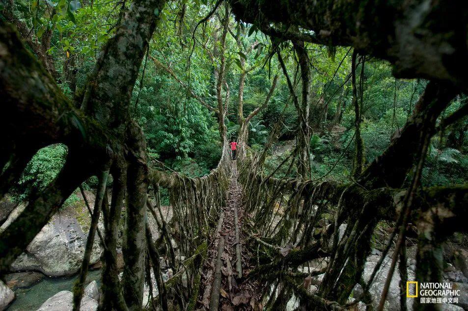 Umshiang双层树根桥(很快就会变成三层),已经存活数百年,并且可同时承载50个人。 图源:ALEX TREADWAY, NAT GEO IMAGE COLLECTION