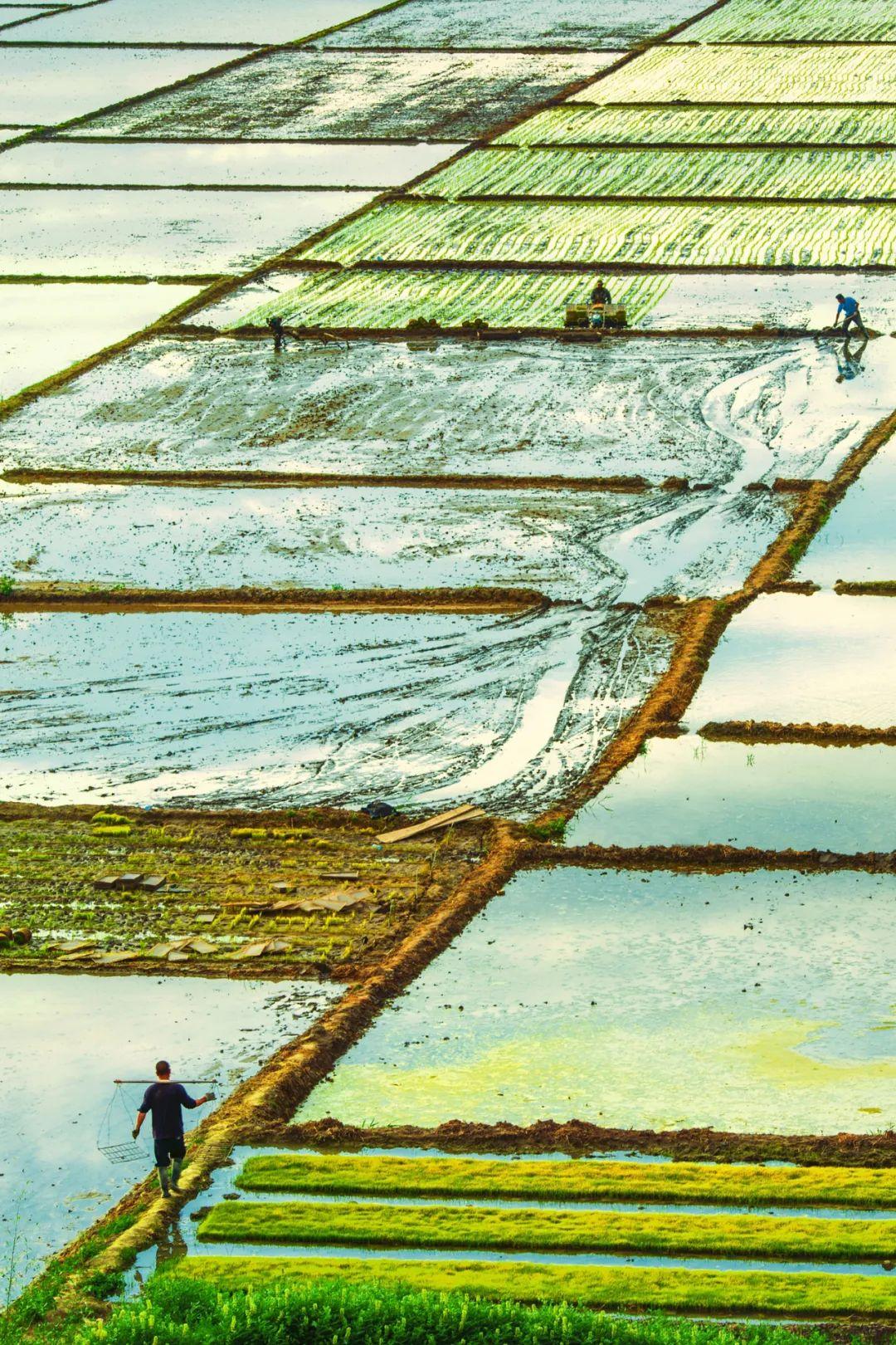 ▲ 位于察布查尔锡伯自治县的稻田,很难让人相信,这是在新疆。摄影/赖宇宁
