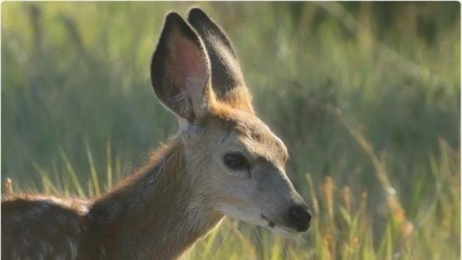 貂之后又一物種中招 美國多地野生鹿群感染新冠病毒
