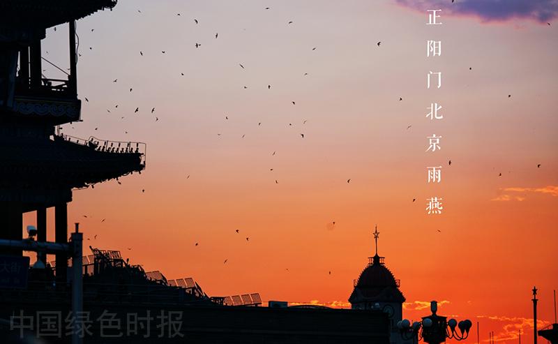 正阳门外,北京雨燕漫天飞舞。图源中国绿色时报