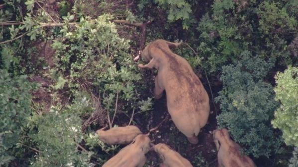 云南北迁象群已在元江县吃喝玩乐5天,当地累计投食7.8吨
