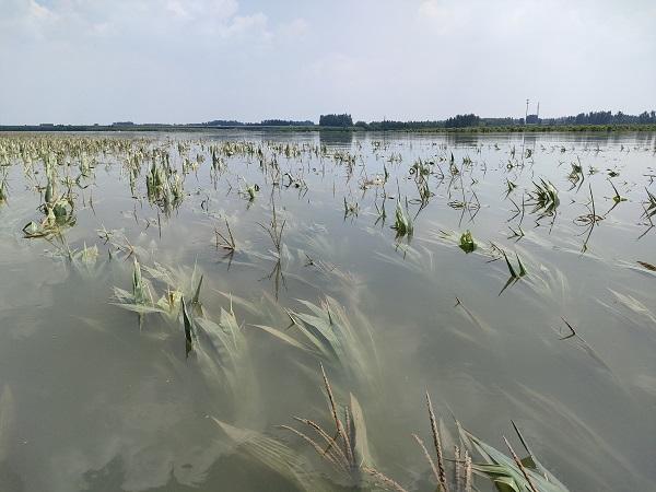 河南新乡一村停水停电 一群猪在土堤上游荡(图2)