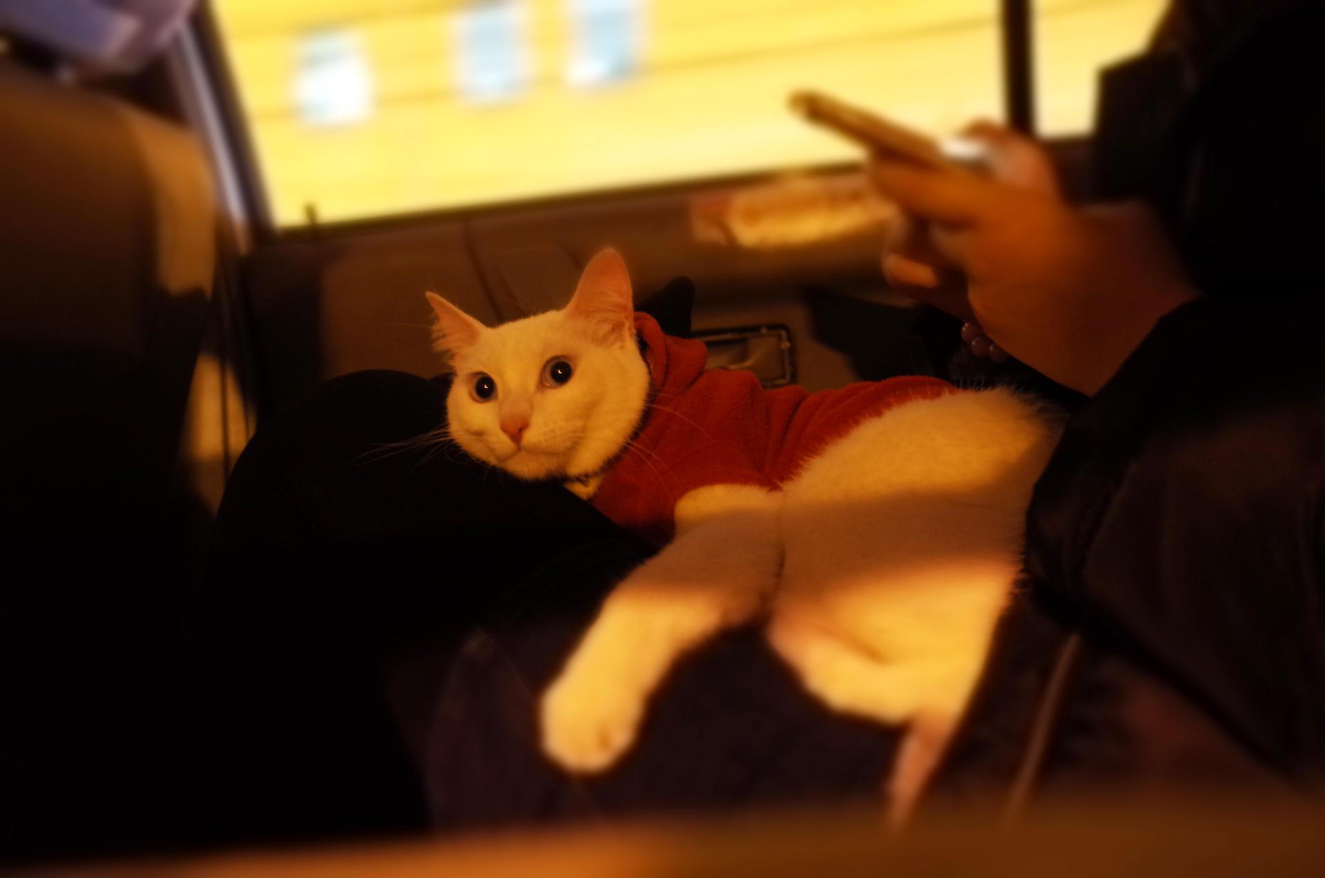 上海一位宠物主人带着家里的宠物猫坐车去检查身体。