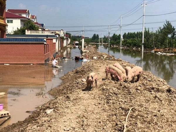 河南新乡一村停水停电 一群猪在土堤上游荡(图4)