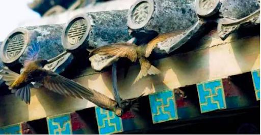 北京雨燕通常在古建筑屋檐下筑巢。图源澎湃新闻