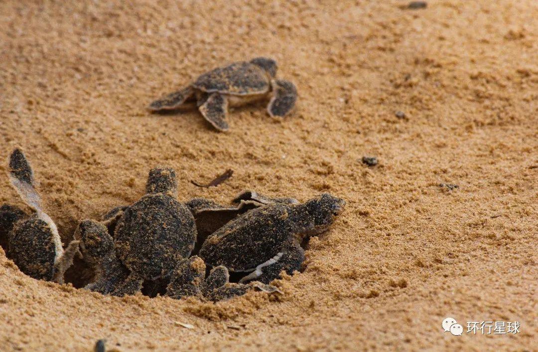 刚出生的海龟幼仔 图:msm clicks/shutterstock