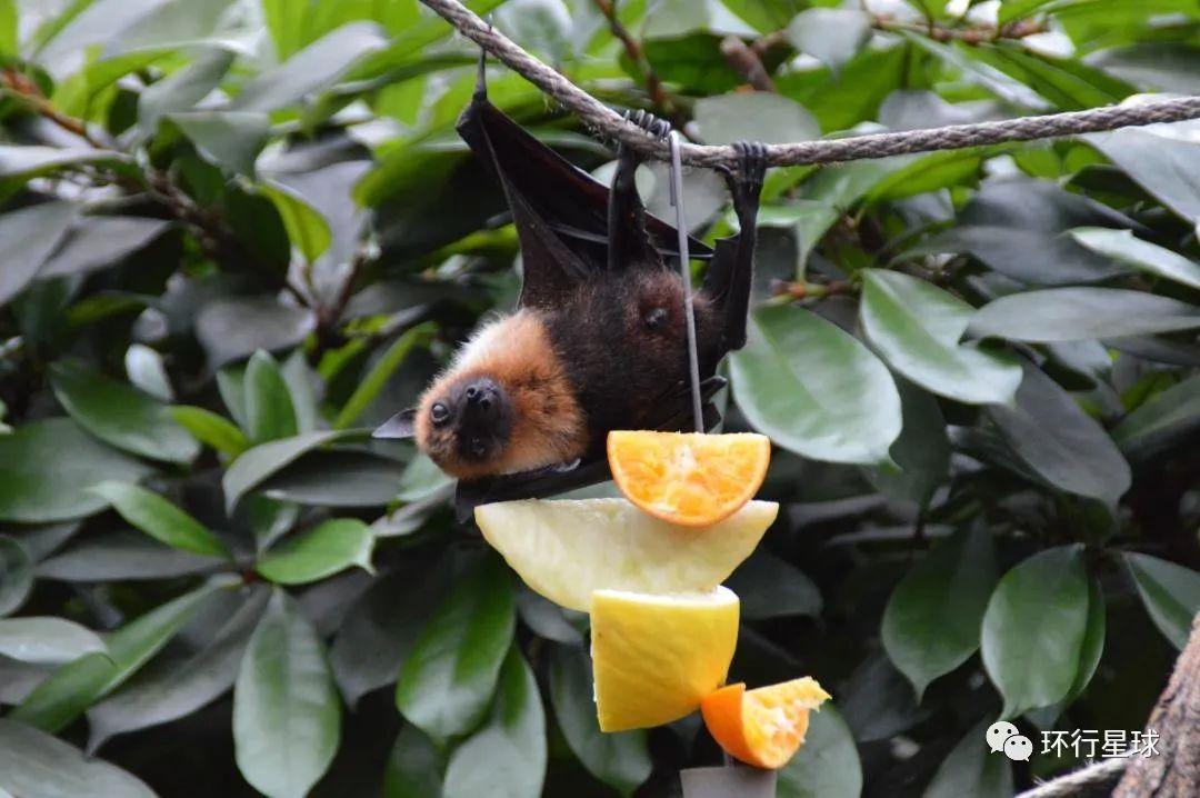 挂在树枝上的果蝠 图:Steven Mc Leod/Unsplash