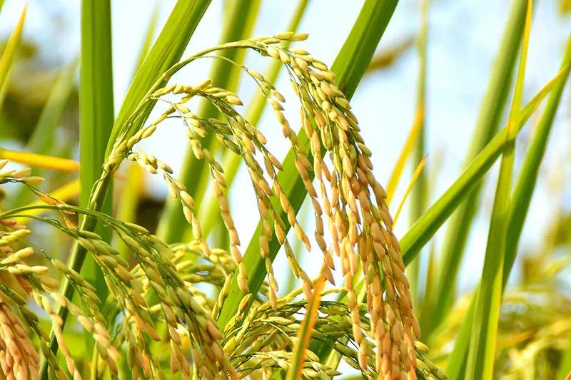 """比糙米更有营养是""""活""""的米,三高人群的""""放心粮"""""""