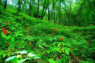 林下参种植基地