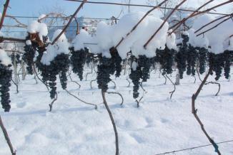 冰葡萄种植基地