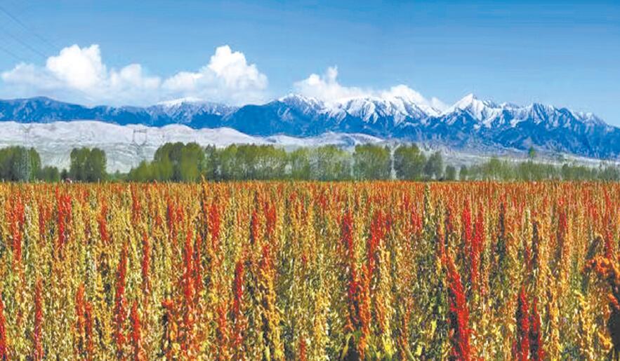 都兰正待收割的藜麦。摄影:马振东