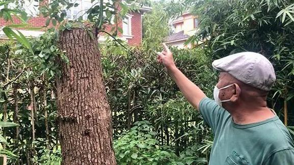 上海男子修剪自买的香樟树被罚14万 城管部门回应
