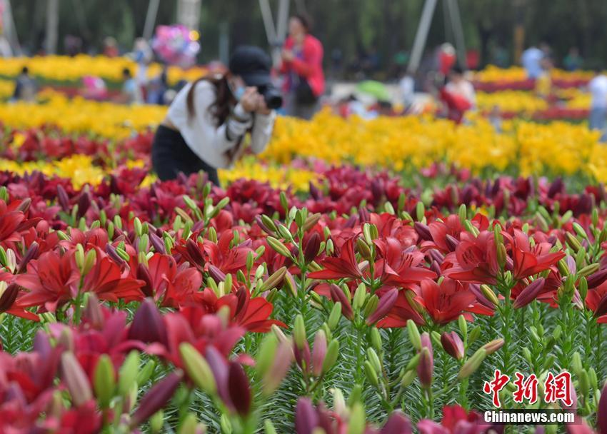 吉林长春公园内6万余株百合竞相开放 吸引游人