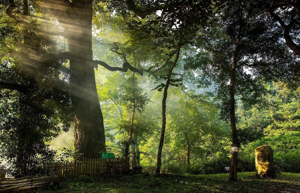 小湾乡村森林公园古树园(刘英 摄)