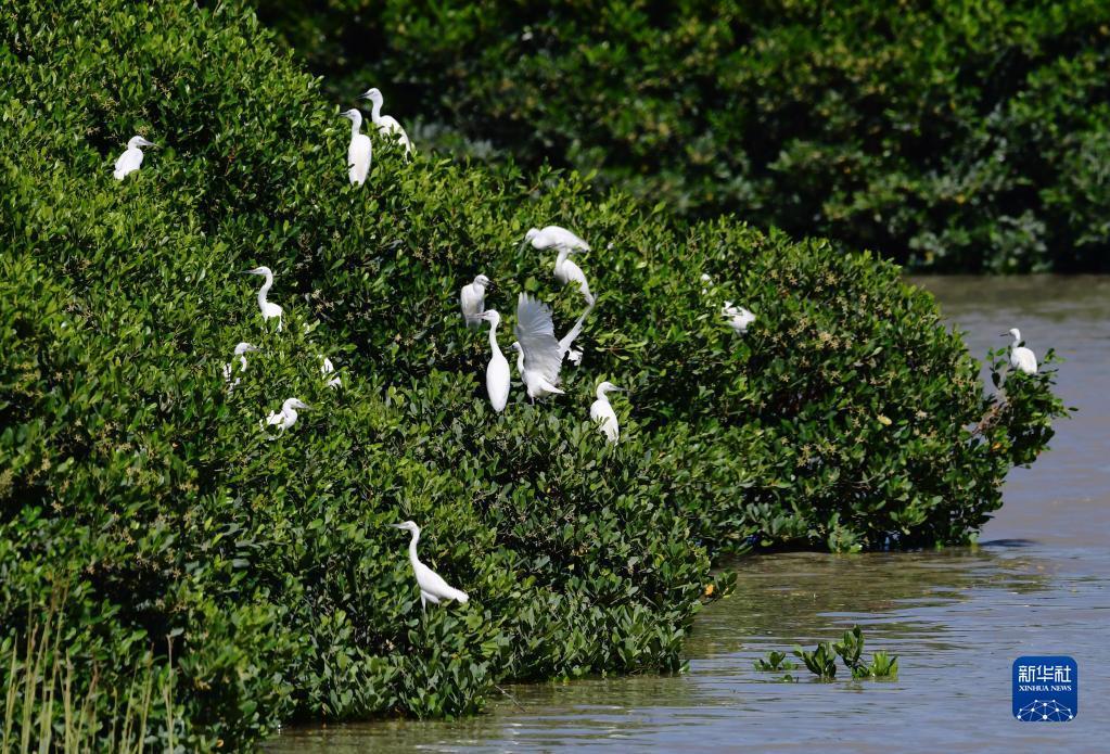 8月27日,鹭鸟在福清市海口镇斗垣村的红树林栖息。