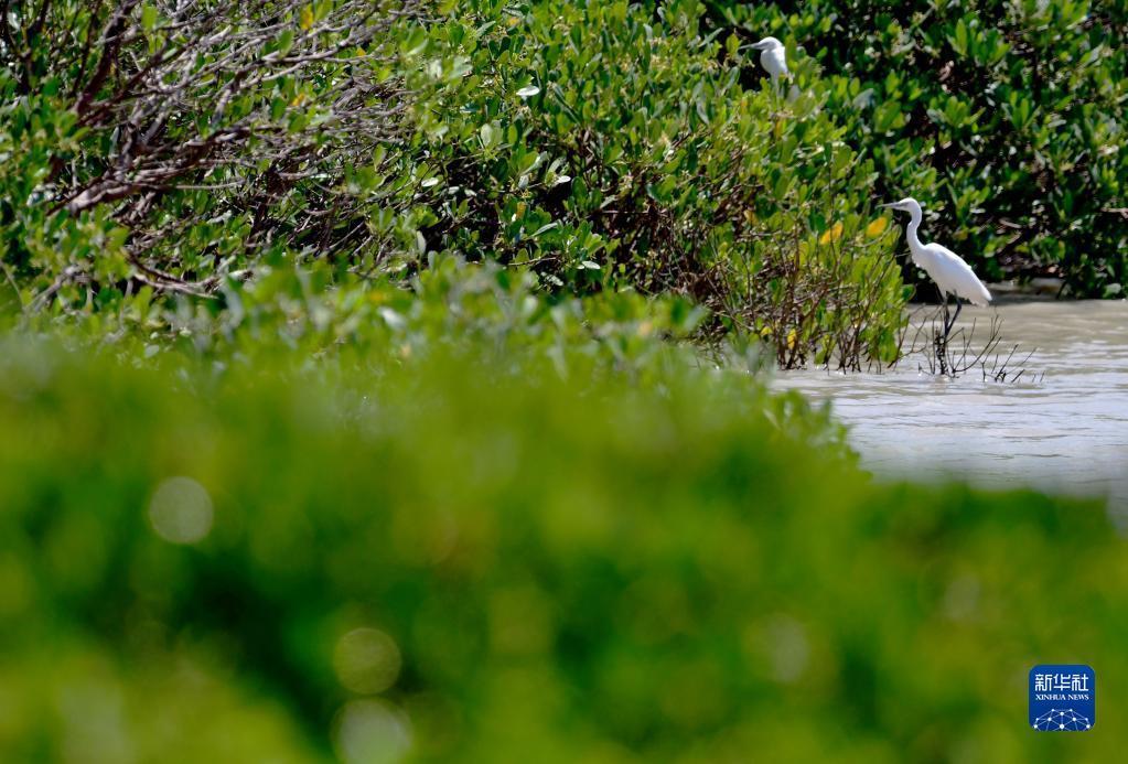 福建福清:鹭鸟云集红树林