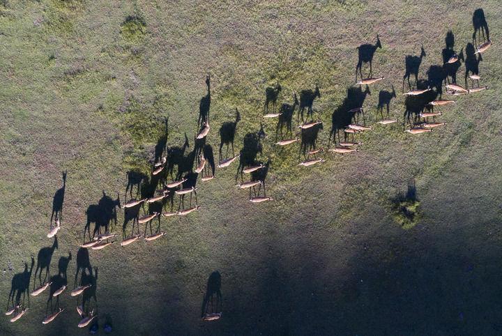 五大连池世界地质公园卧虎山脚的鹿群(8月31日摄,无人机照片)。新华社记者 谢剑飞 摄