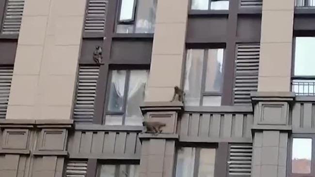 猴哥惊现高层居民楼轻松跳跃 居民惊呼连连!